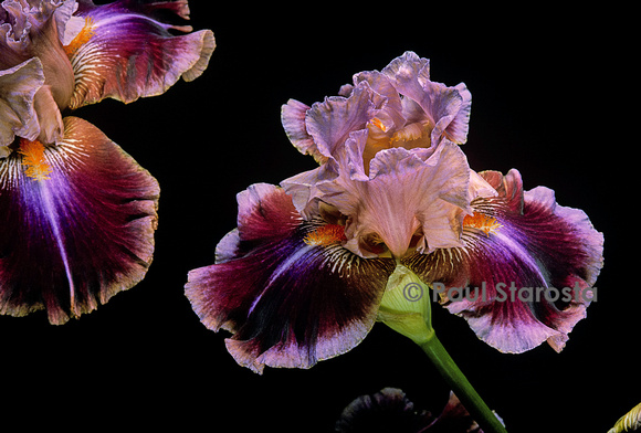 Iris 'Outrageous Fortune'