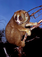 Nycticebus coucang (loris lent)