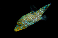 Canthigaster sp. (poisson-ballon)