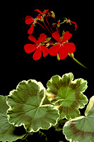 Pelargonium X hortorum 'Dolly Vardon'