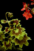 Pelargonium X hortorum 'Golden Ears'