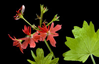 Pelargonium X hortorum 'Golden Spath'