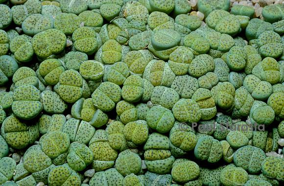 plante grasse caillou