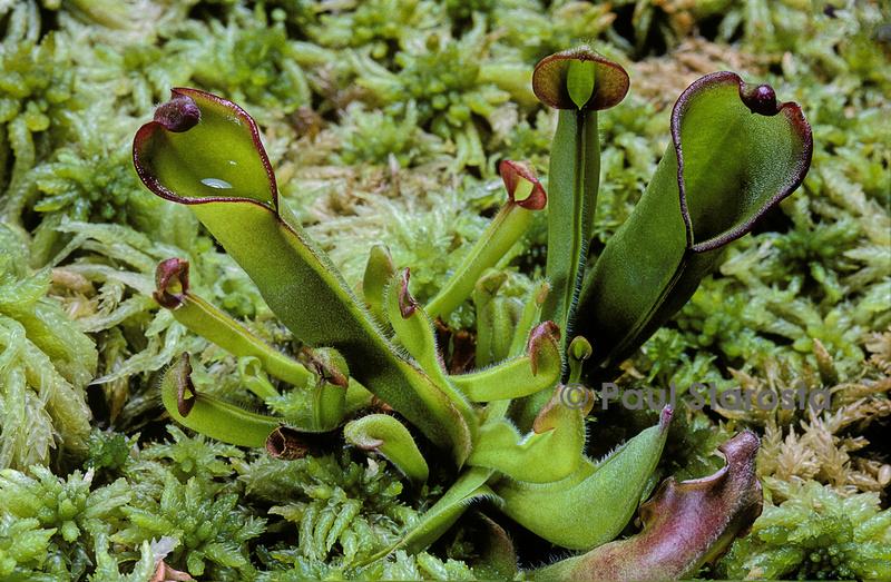 paul starosta photographe naturaliste autres plantes carnivores. Black Bedroom Furniture Sets. Home Design Ideas