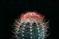 Melocactus harlowii